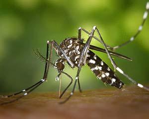 Mosquito-da-dengueC