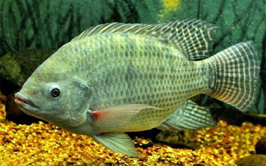 peixe-tilapia-cursos-cpt