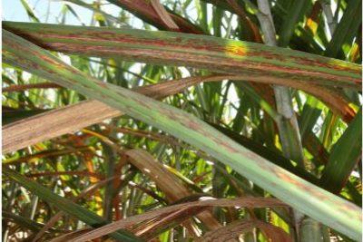 Publicação identifica doenças fúngicas foliares emergentes em cana-de-açúcar