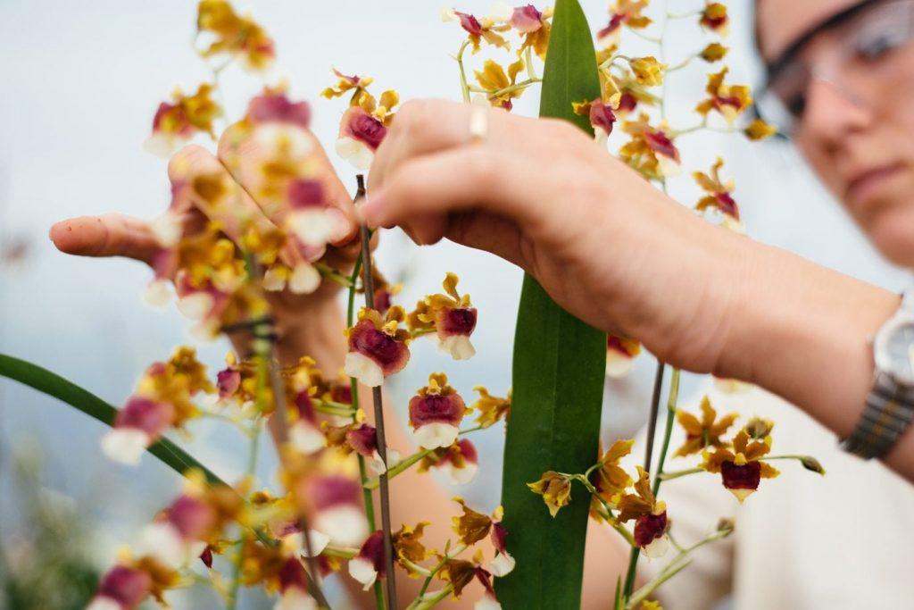 Produção de Flores em Holambra-SP. Foto: Alexandre Pottes Macedo