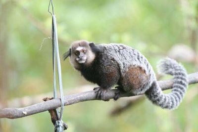 Macacos mortos encontrados em Posse não estavam com febre amarela
