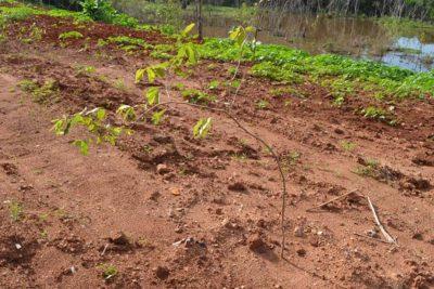 Prefeitura realiza plantio de 65 árvores nativas