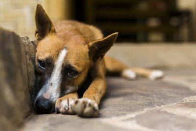 """Abrigo de Animais de Pedreira realiza """"Campanha Permanente de Adoção de Cães"""""""