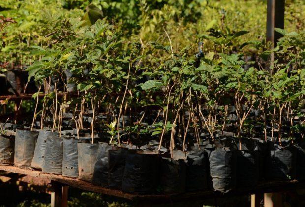 SAAMA doa 156 mil mudas para plantio em áreas verde em Mogi Guaçu