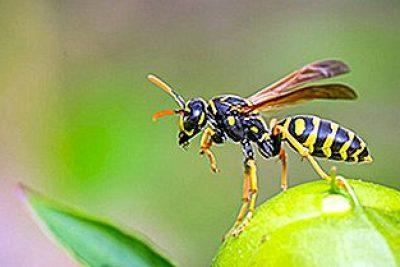 Vespas e abelhas na agricultura e em ambientes urbanos