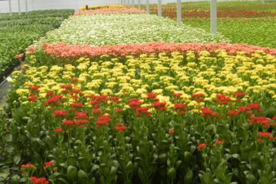 Ibraflor pede a governadores e prefeitos que permitam venda de flores para o Dia da Mulher
